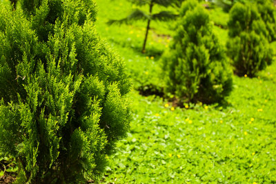 Auch große Zypressen lassen sich umpflanzen.