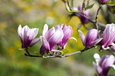 Im Frühjahr trumpfen die Magnolien mit herrlichen Blüten auf.