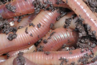 Kompostwürmer beschleunigen die Kompostierung.