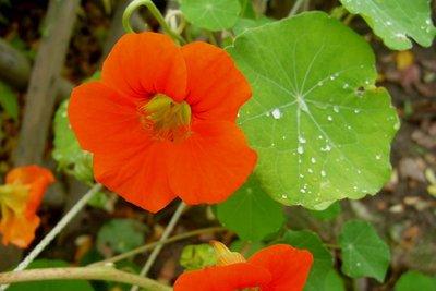 Viele Sommerblumen trotzen den Schnecken im Garten.