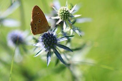 Eryngium Planum ziert den Garten mit blauem Farbenschimmer.