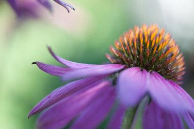 Echinacea (Sonnenhut) hilft gegen Herpes.