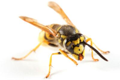 Wespenstiche können tödlich sein.