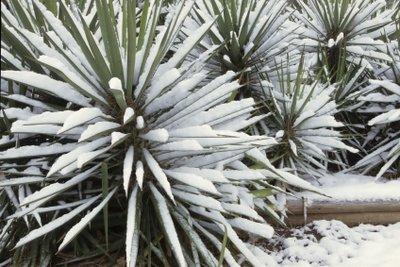 Yucca Filamentosa ist immer ein Hingucker.
