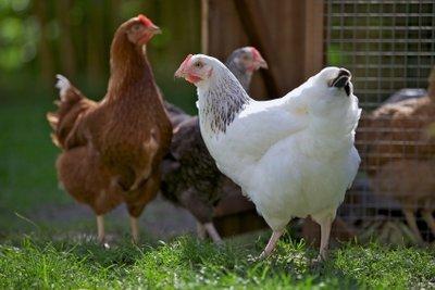Federvieh für den Hühnerstall nach Bauanleitung