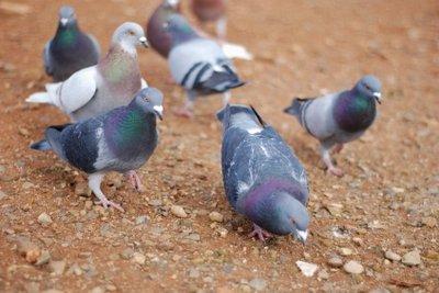 Taubendreck kann zu einem Problem werden.