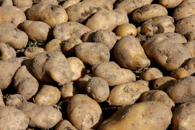 Die Kartoffel kommt aus Amerika.