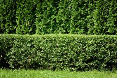Eine Thujahecke ist ein immergrüner Sichtschutz.