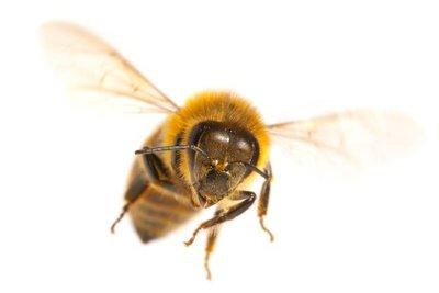 Vertreiben Sie Wildbienen schonend.