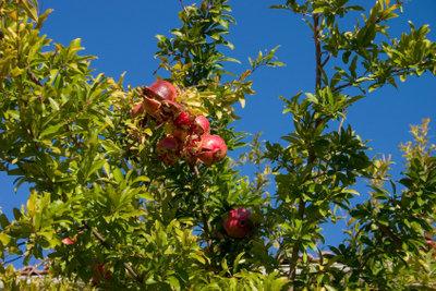 Der Granatapfelbaum ist einfach schön.
