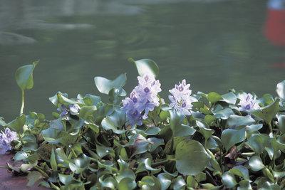 Wasserhyazinthen sind pflegeleichte, blühende Teichpflanzen.