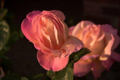 Die Rose Westerland ist sehr pflegeleicht.