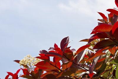 Die Photinia Red Robin erfreut durch glänzendes rotes Laub.