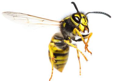 Wespenstiche können tödlich enden.