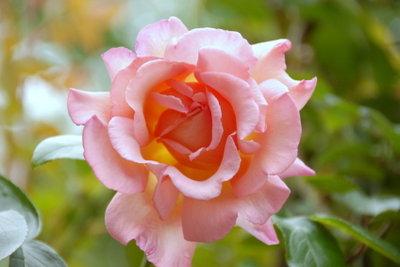 Auch Rosen eignen sich zur Hangsicherung.