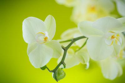 Ihre Orchidee müssen Sie richtig schneiden, damit Sie wieder Blüten trägt.