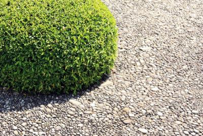 Die Buchsbaumkugel braucht einen regelmäßigen Formschnitt.