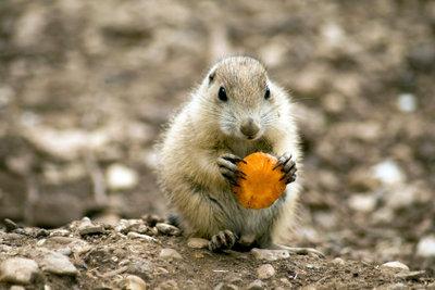 Karotten schmecken nicht nur Menschen.