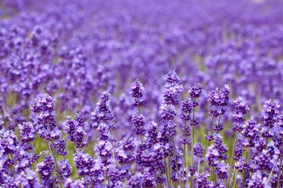 Lavendel verscheucht alte Gerüche.