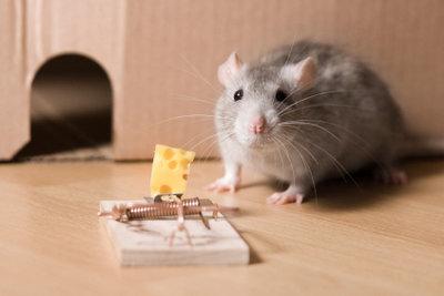 Mäuse sind unhygienische Untermieter.