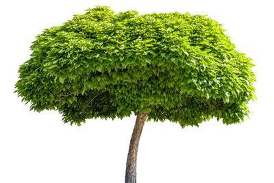 Der Kugel-Trompetenbaum macht mit seiner Form und den schönen Blättern eine gute Figur.