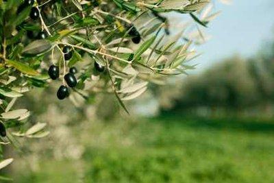Der Olivenbaum benötigt oft Winterschutz.