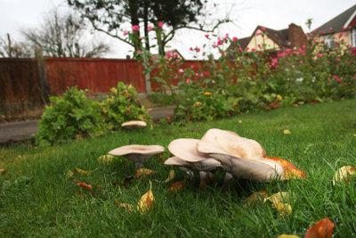 Pilze im Rasen können bekämpft werden.