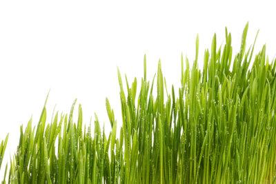 Bambusgras gehört zur Familie der Süßgräser.