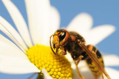 Wespen mögen nicht alle Pflanzen.