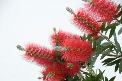 Die Blüten bestehen aus vielen Staubgefäßen.