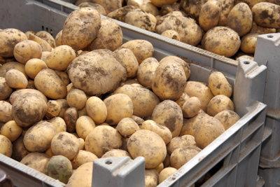 Kartoffeln sollten in einer Holzmiete lagern