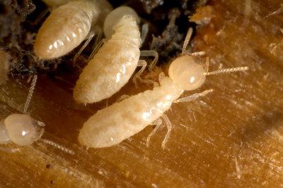 Termiten richten auch hierzulande Schäden an.