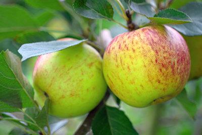 Es gibt auch kleine Apfelbäume.