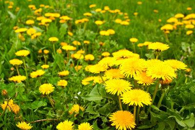 Essbare Rasenpflanzen sind kein Unkraut.