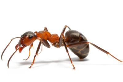 Ameisen sind fast überall.