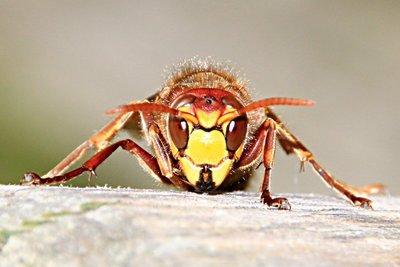 Die Wespe möchte meist ihre Ruhe.
