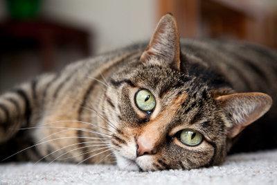 Glückliche Katze ohne Flöhe