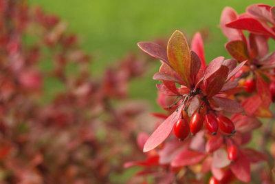 Gehölze wie Berberitze sind interessante Heckenpflanzen.