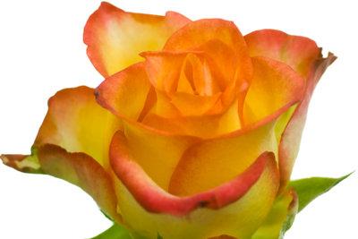 Eine Rose ist eine edle Blume.