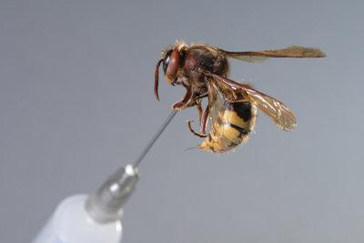Schnell handeln bei einer Wespenstichallergie