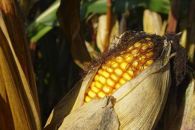 Gemahlene Maiskörner ergeben Maismehl.