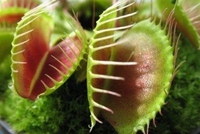 Die Venusfliegenfalle - eine bekannte fleischfressende Pflanze
