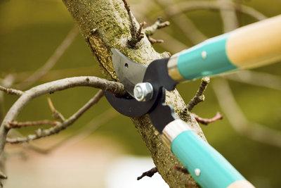 Für das Zurückschneiden von Haselnussbäumen ist die Handschere eine gute Wahl.