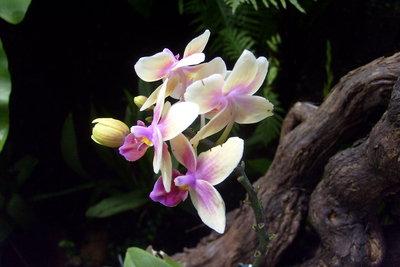Epipythische Orchideen benötigen keine Erde.