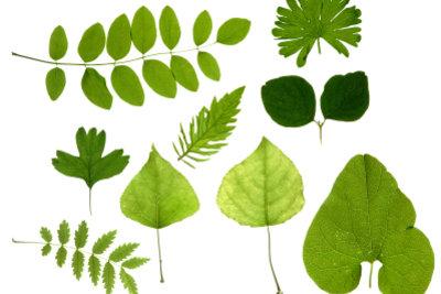 Blätter sammeln und bestimmen auf einen Blick