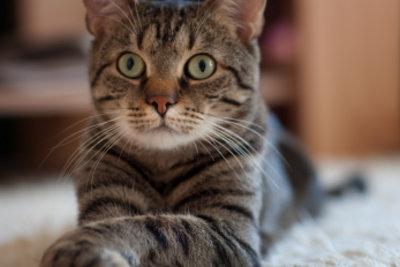 Die Beseitigung von Katzenflöhen in der Wohnung ist langwierig.