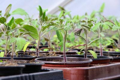 Setzen Sie Jungpflanzen in nahrhafte Pflanzerde.