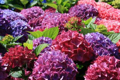 Die Blütenfarbe der Hortensie ist veränderbar.