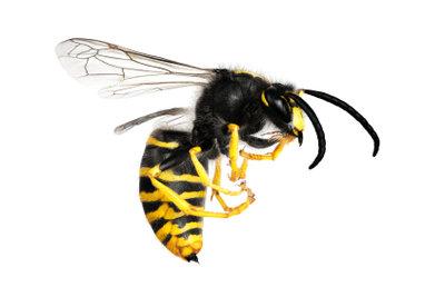 Wespen verlieren beim Stechen keinen Stachel.