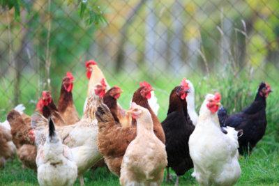 Hühnerflöhe können auch den Menschen befallen.